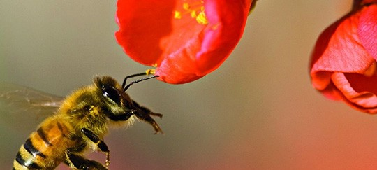 abeilles pollinisateurs